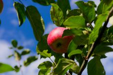 Free Red Apple Stock Images - 21200254