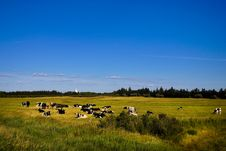 Free Cows In The Marsh Stock Photo - 21203930