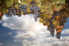 Free Beautiful Lush Grape Vineyard Stock Photos - 21203943