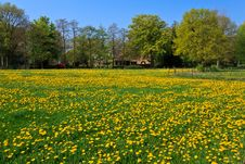 Free Dandelion Flower  Field In Bloom Royalty Free Stock Photos - 21204218