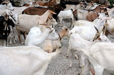 Free Herd Of Dairy Goats Stock Photo - 21204240