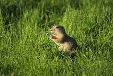 Free Gopher Squeaking Royalty Free Stock Photos - 21204478