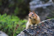Free Golden-Mantled Ground Squirrel Royalty Free Stock Images - 21204569