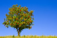Free Tree With Red Berries Royalty Free Stock Photography - 21204667