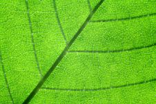 Free Back-lit Leaf Detail Stock Photography - 21205312