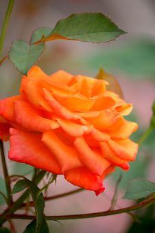 Close-up Of A Orange Rose. Royalty Free Stock Photo