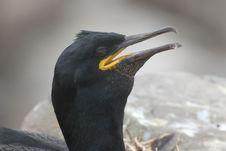 Free Shag Close-up (Phalacrocorax Aristotelis) Stock Photo - 21205670