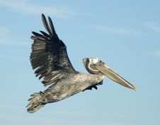 Free Brown Pelican In Flight Royalty Free Stock Image - 21207886
