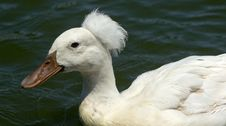 Free White Crested Duck Stock Photo - 21207910