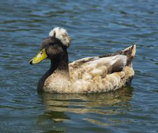 Free Brown Crested Duck Royalty Free Stock Photo - 21207915