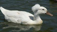 Free White Ducks Stock Photo - 21207920