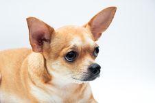 Free Chihuahua Dog Stock Photography - 21207982