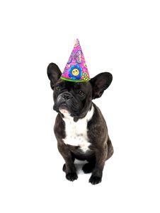 Free French Bulldog Royalty Free Stock Image - 21208146