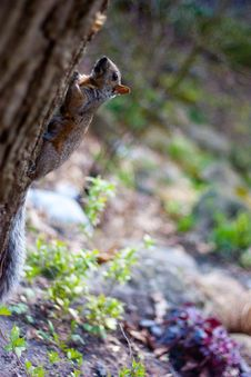 Free Squirrel Running Through The Woods Royalty Free Stock Image - 21209376
