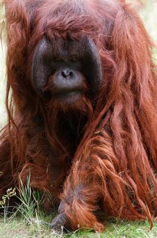 Free Threatening Orangutan Stock Photo - 21209820