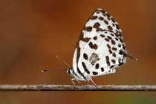 Free Common Pierrot Royalty Free Stock Image - 21209846