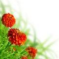Free Beautiful Zinnias And Grass Royalty Free Stock Photos - 21215998