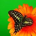 Free Graphium On Orange Gerber Royalty Free Stock Photography - 21216207