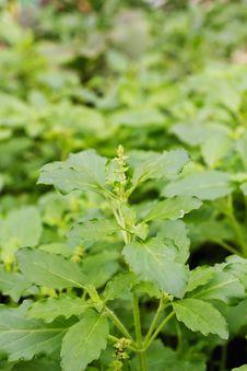 Free Close Up Fresh Green Basil Stock Images - 21210134