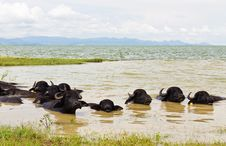 Free Water Buffalo Stock Photography - 21210512