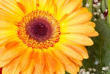 Orange Gerbera With Dew Drops Stock Photo