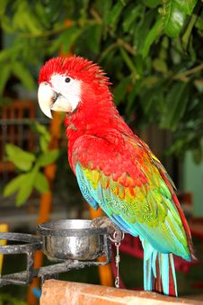 Free Scarlet Macaw Stock Image - 21213131