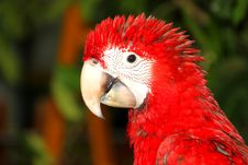 Free Scarlet Macaw Royalty Free Stock Image - 21213166