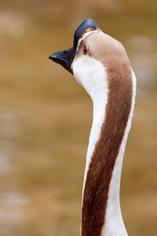 Free Chinese Geese Royalty Free Stock Image - 21213406