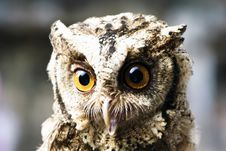Free Stare Of An Owl Stock Images - 21213434