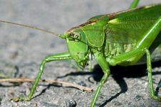 Free Green Locust On The Ground Stock Photo - 21215380
