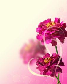 Beautiful Pink Zinnias Stock Photo