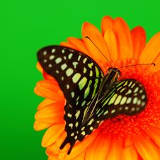 Free Graphium On Orange Gerber Royalty Free Stock Photography - 21216207