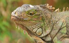Free Portrait Of Green Iguana Stock Photo - 21217260