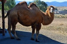 Free Asian Bactrian Camel Royalty Free Stock Photography - 21218567