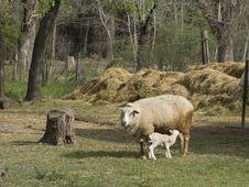 Free Ewe And Lamb Stock Photo - 21219490