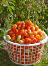 Free Basket Of Plum Tomatoes Stock Photos - 21222053