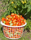 Free Basket Of Plum Tomatoes Stock Photography - 21222092