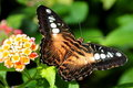 Free The Brown Clipper Butterfly Royalty Free Stock Images - 21225889