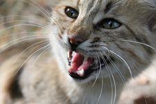 Free Wild Cat Stock Photography - 21221332