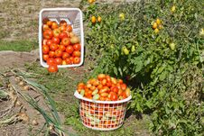 Free A Garden View Of Harvested Tomatoes Stock Images - 21221984