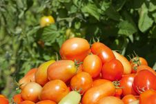 Free Garden Detail Of Plum Tomatoes Royalty Free Stock Images - 21222009