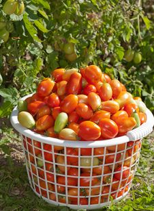 Basket Of Plum Tomatoes Stock Photos