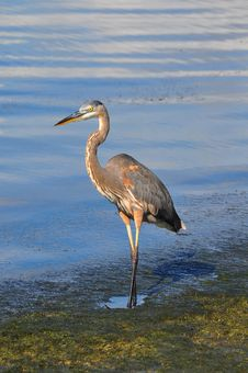 Great Blue Heron Walking Royalty Free Stock Image