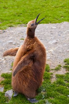 Free King Penguin Chick Royalty Free Stock Photo - 21225015