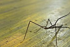 Free Stick Mantis Stock Photo - 21225300