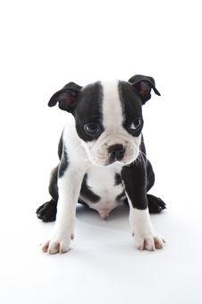 Boston Terrier Stock Photography