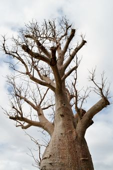 Free Baobab Tree Stock Photography - 21225582