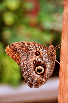 Free The Cream Owl Butterfly Stock Photos - 21225903