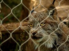 Free Captive Lynx Stock Photos - 21225973
