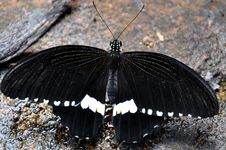 Male Common Mormon Butterfly Stock Images